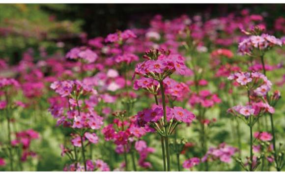 兵庫縣六甲高山植物園的報春花最佳賞花季節!一大片開闊的粉色花叢堪稱絕景啊 日本文化、日本流行、觀光、日本飲食