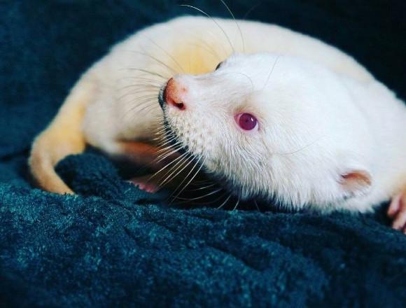 白色亞洲小爪水獺登日!於池袋陽光通的動物廣場「コツメイト(kotsumate)」 在池袋、寵物咖啡廳、
