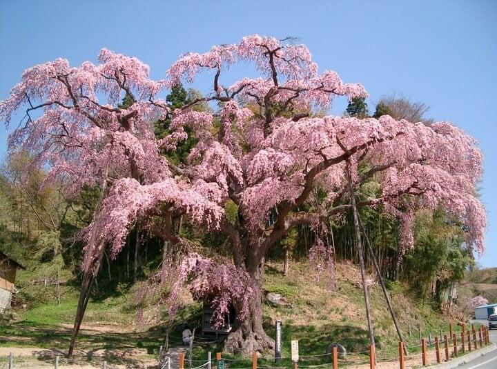 日本三大櫻花在這!福島縣郡山市賞櫻景點4選 在福島、櫻、