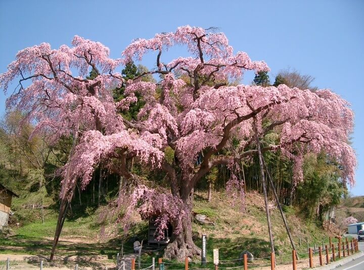 福島県郡山市 桜
