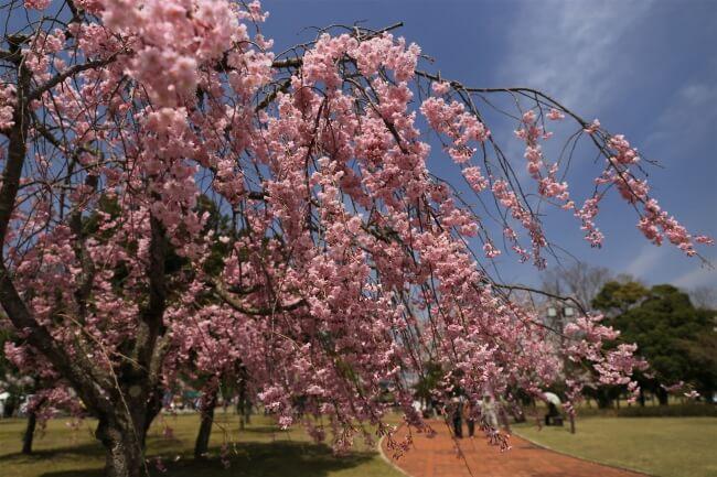 福井県「第8回越前陶芸村しだれ桜まつり」