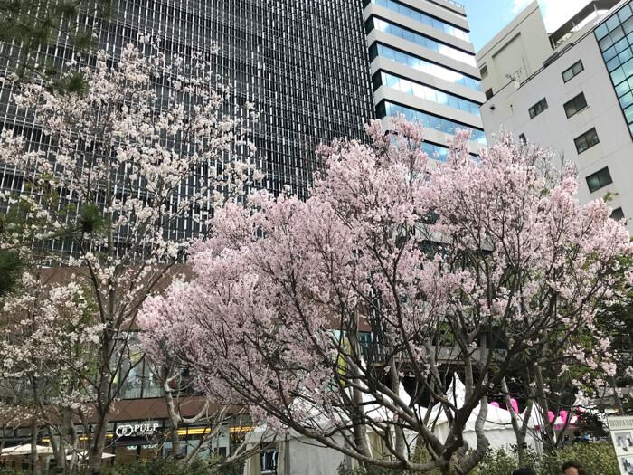 C_桜の様子