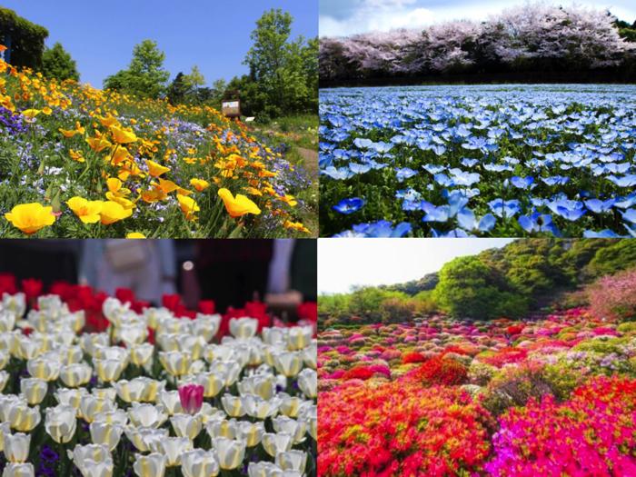 鬱金香、粉蝶花盛開!日本全國賞花季6選 花祭、