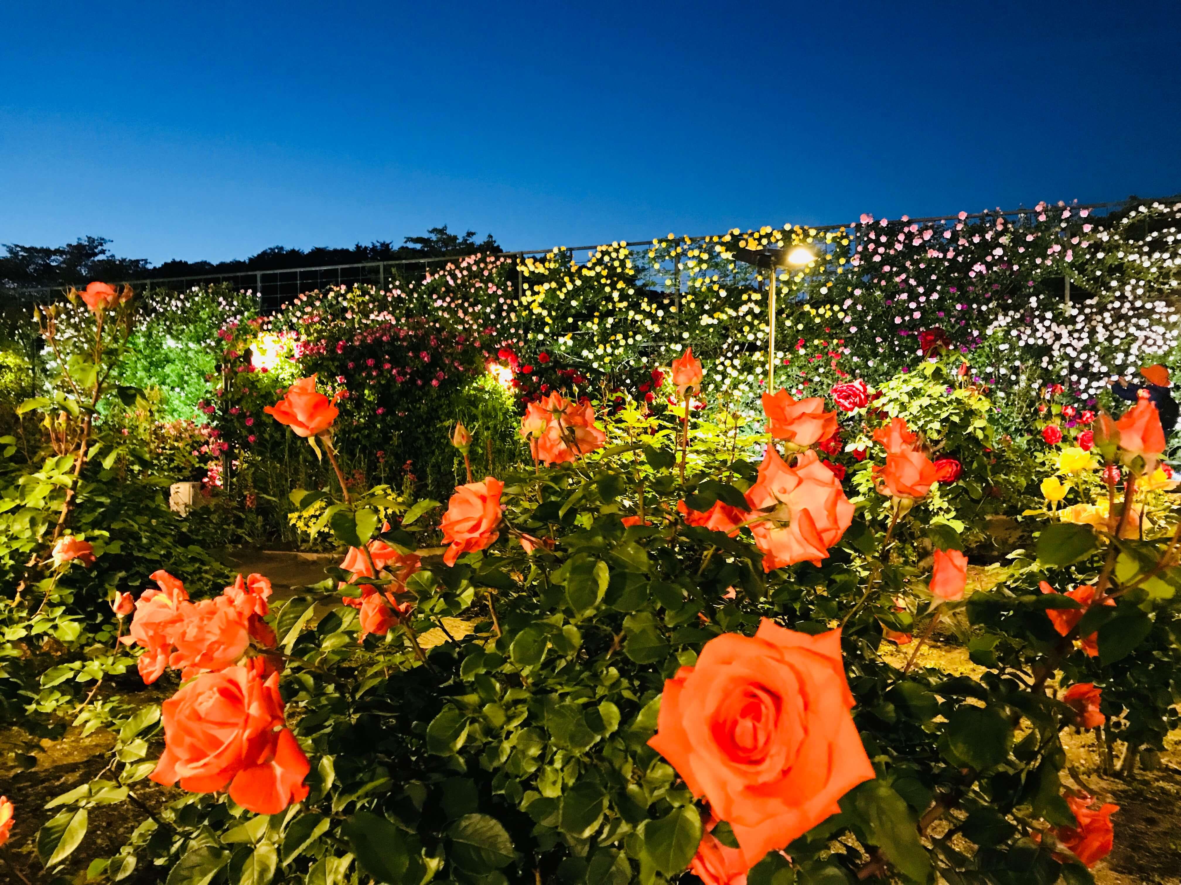 栃木縣足利花卉公園500種2,500株薔薇花正開 賞花去吧! 在栃木、足利花卉公園、