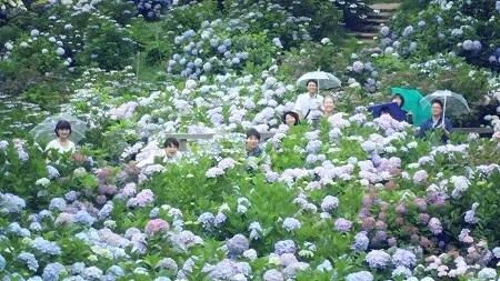 舞鶴自然文化園 アジサイまつり あじさい フォトジェニック