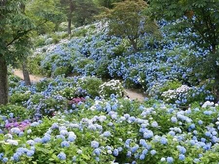 舞鶴自然文化園 アジサイまつり あじさい