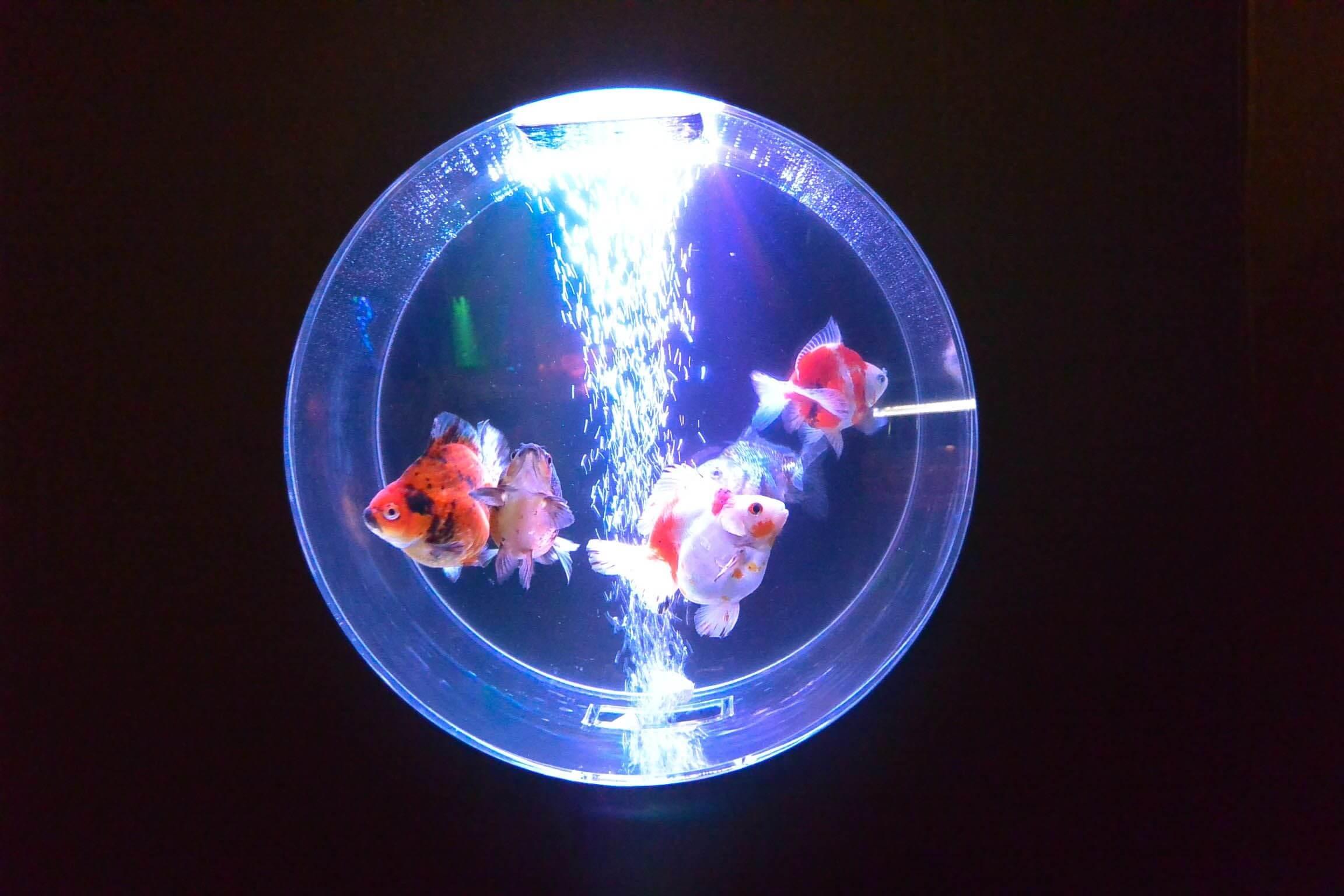 可以欣賞到夢幻金魚水族館的「~水族館 IN 大阪京瓷巨蛋 SKY HALL~」即將舉辦 水族館_、