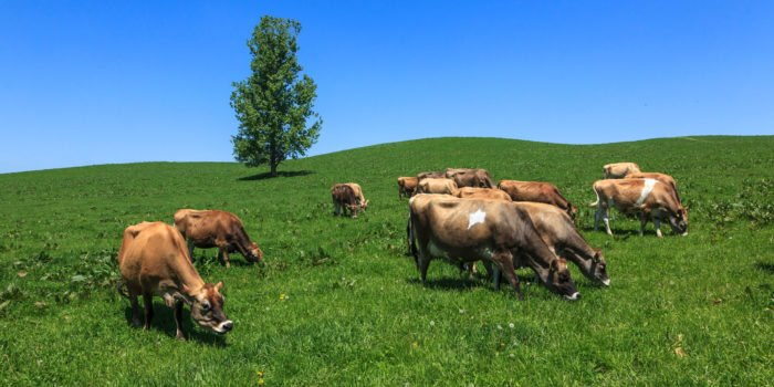 北海道美瑛放牧酪農場放牧圖乳牛
