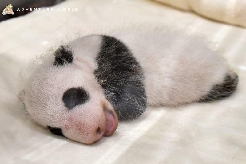 和歌山「冒險世界遊樂園」貓熊寶寶公開&名字募集活動開跑 貓熊、