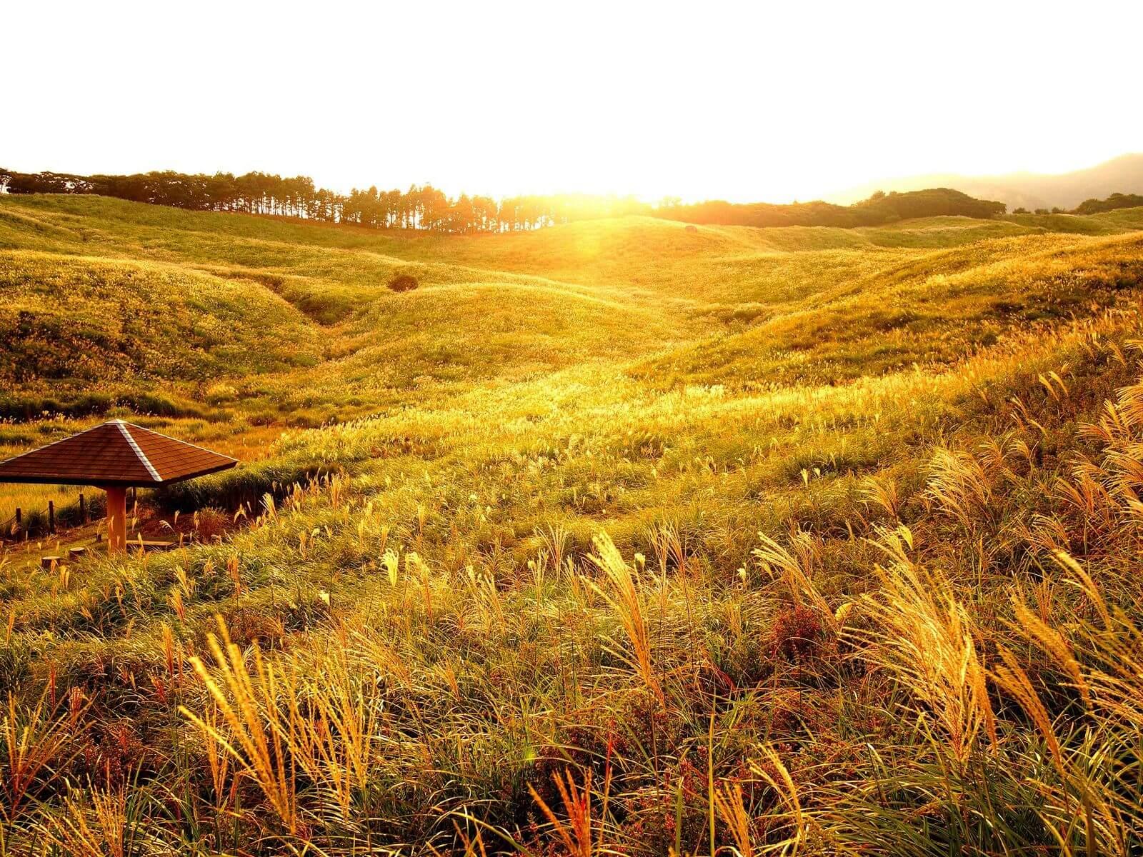 東伊豆·稻取高原的絕景!享受黃金的芒草原野的「秋天的芒草活動」舉行 伊豆、日本旅行、日本觀光、