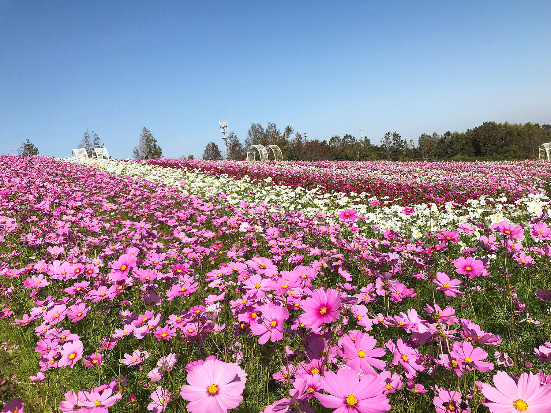 在大阪Harvest Hill「50萬個波斯菊」迎接滿開! 在大阪、