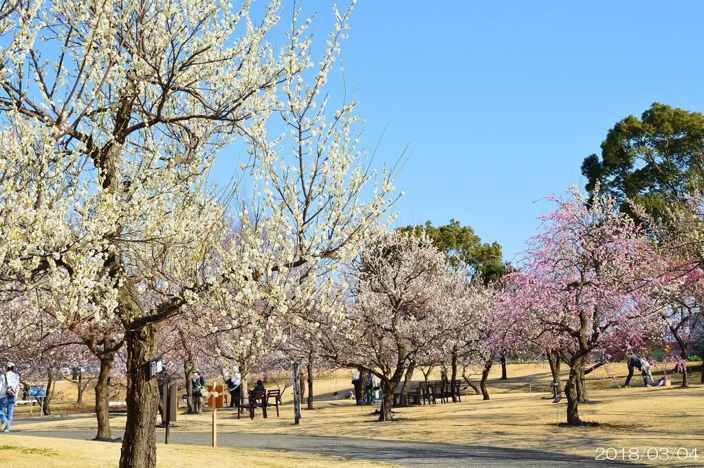 約200種梅花盛開!小田原花園梅花季「梅之花色」 在神奈川、