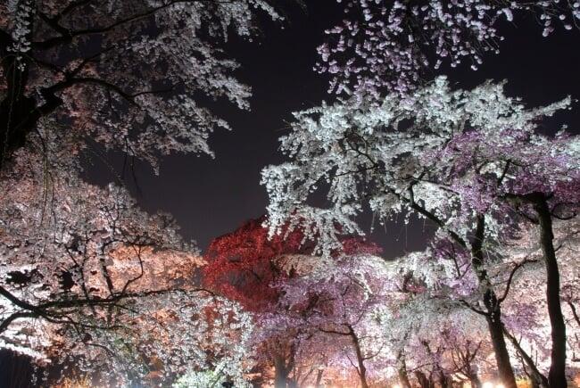 京都府立植物園自3月25日起舉行「櫻花點燈2019」人氣活動